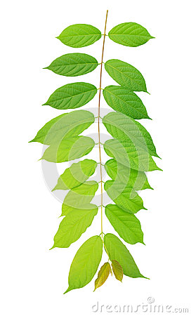 Green leaves hanging on air isolated on white back