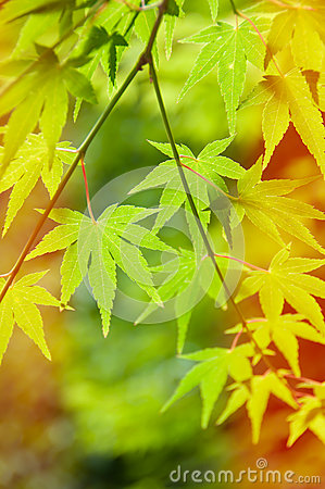 Free Green Leaves, Japanese Maple Royalty Free Stock Image - 32802546
