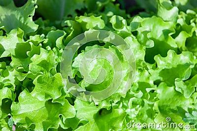 Green leaves lettuce under the sun