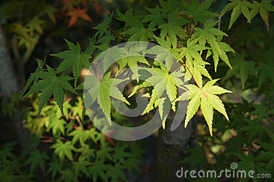 Green leaves of the maple trees