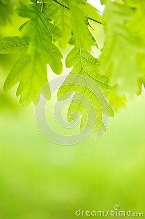 Free Green Leaves Of Chestnut Stock Photo - 25106970