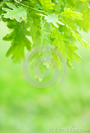 Free Green Leaves Of Chestnut Royalty Free Stock Image - 25174826