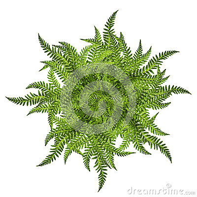 Free Green Leaves Of Fern Sun Ornament Symbol Isolated On White Stock Photos - 81907073