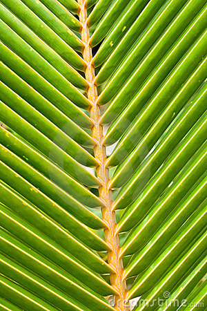 Green leaves of a palm on daylight