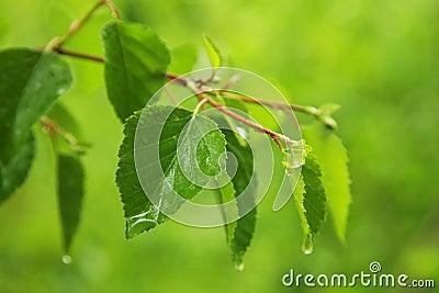 Green leaves on rain