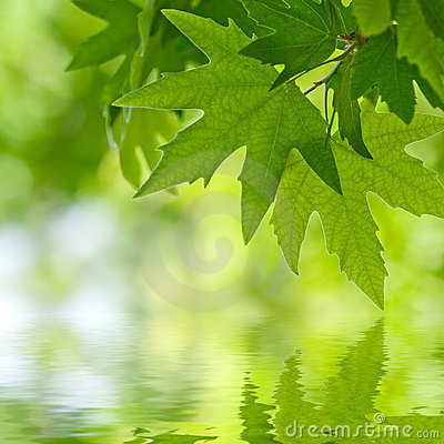 Green leaves reflecting in the water,
