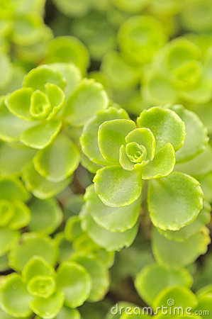 Green Leaves of Sedum Spurium Close-Up