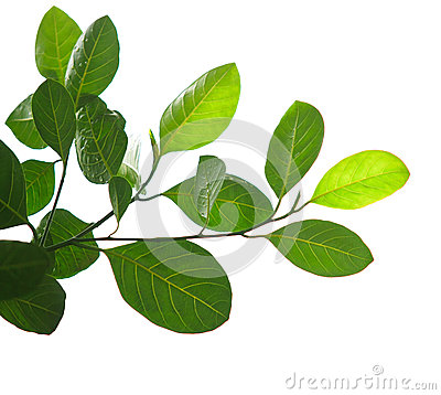 Green leaves and tree branch isolated