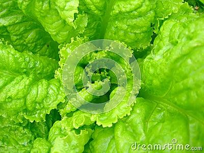 Green leaves of useful lettuce