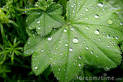 Green leaves with water drops
