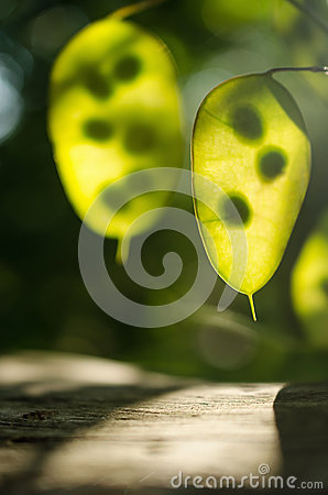 Free Green Leaves With Sun Backlight Royalty Free Stock Photography - 43636577