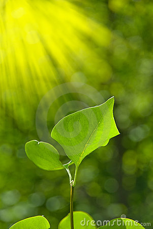 Free Green Leaves With Sun Ray Stock Image - 14936701