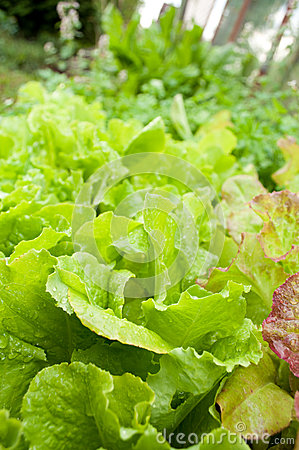 Green lettuce on garden bed