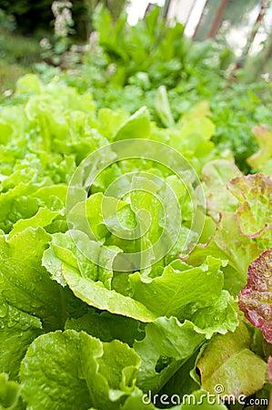 Green lettuce on garden bed