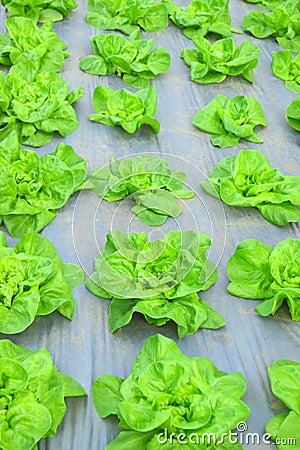 Green lettuce salad plantation