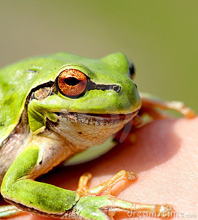 Green Little Frog