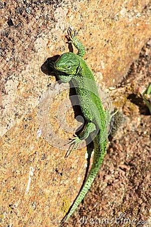 Free Green Lizard Stock Photography - 36278182