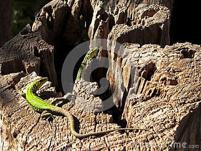 Green lizard basking