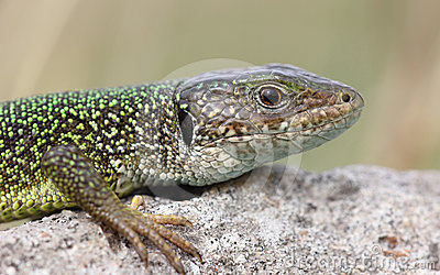 Green lizard close-up from a protected habitat