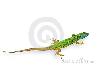 Green Lizard Isolated
