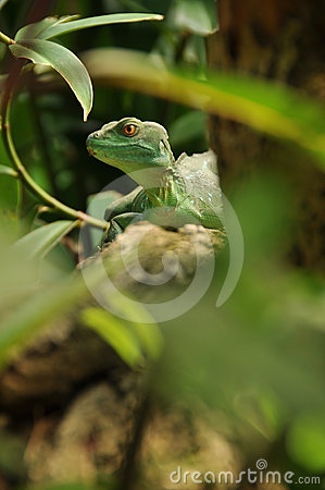 Green lizard in jungle watching you