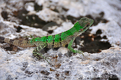 Green Lizard, Mexico