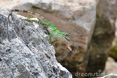 Green Lizard With Prey, Mexico