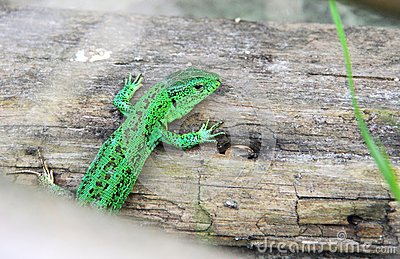 Green lizard sitting on the wood