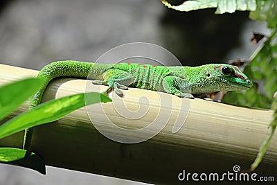 Green Lizard in the Wood