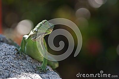Green Lizzard