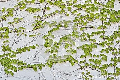 Green loach grows