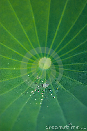 Free Green Lotus Leaf With Water Drops Royalty Free Stock Photo - 4629785