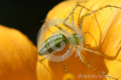 Green Lynx Spider on Flower