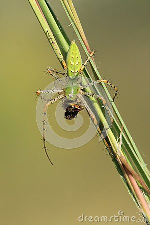 Green Lynx Spider (Peucetia viridans (Hentz)) Eating a Bumble Bee