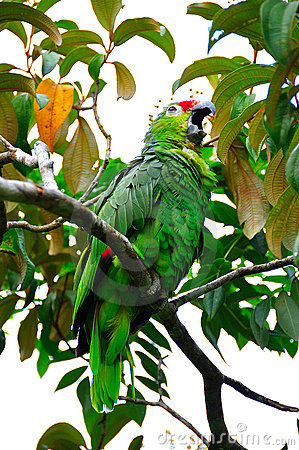 Green Macaw Parrot, Costa Rica