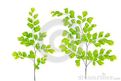 Green maidenhair fern leaves is isolated on white Stock Photo
