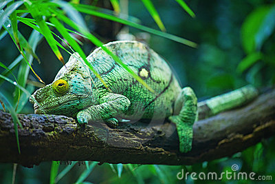 Green male chameleon
