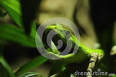 Green Mamba (Dendroaspis angusticeps)