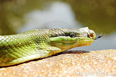 Green Mamba Snake With a Taped Mouth