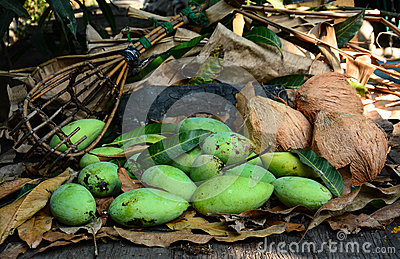 Green mangoes with long-handled fruit-pickeron and coconuts dry leafs