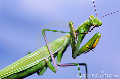 Green mantis washing itself