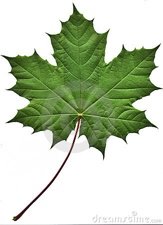 Free Green Maple Leaf Stock Photos - 189713