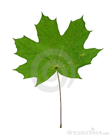 Green maple leaf isolated