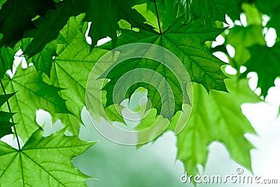 Green maple leafs