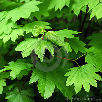 Free Green Maple Leaves Stock Photography - 203722