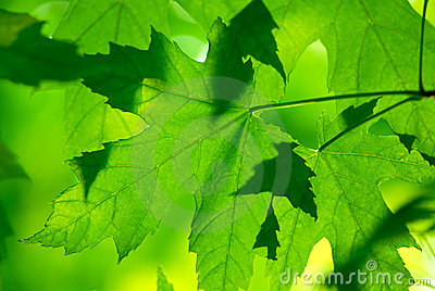 Green maple leaves macro