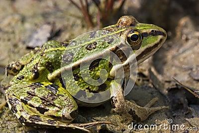 Green Marsh Frog