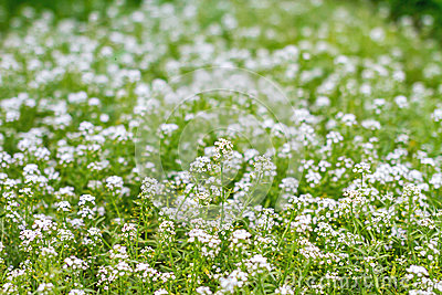 A green meadow with little white flowers