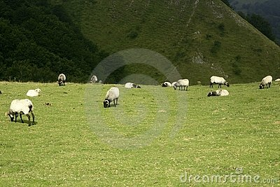 Green meadow with Pyrenees sheeps