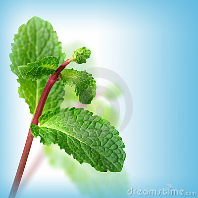 Green mint on blue background